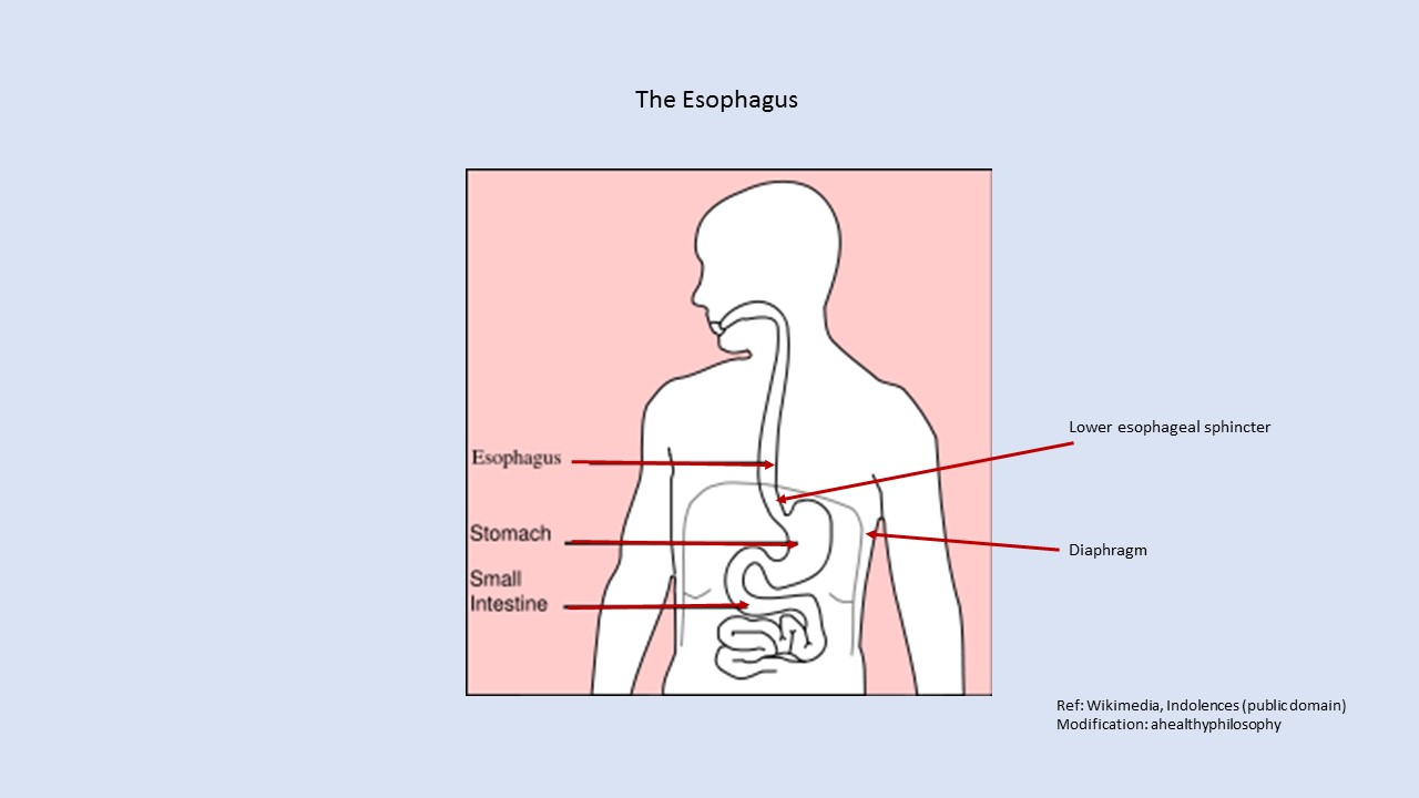 Gerd Finding A Solution That Works For You How Diaphragm The Esophagus And Stomach