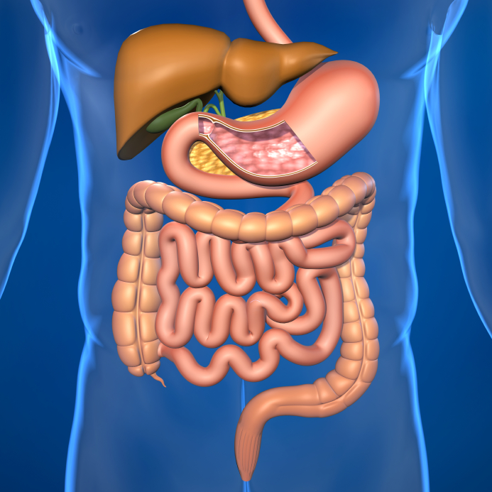 Your Small Intestine: An overview